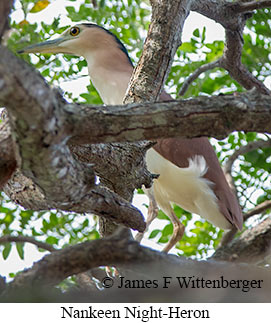 Rufous Night-Heron - © James F Wittenberger and Exotic Birding LLC
