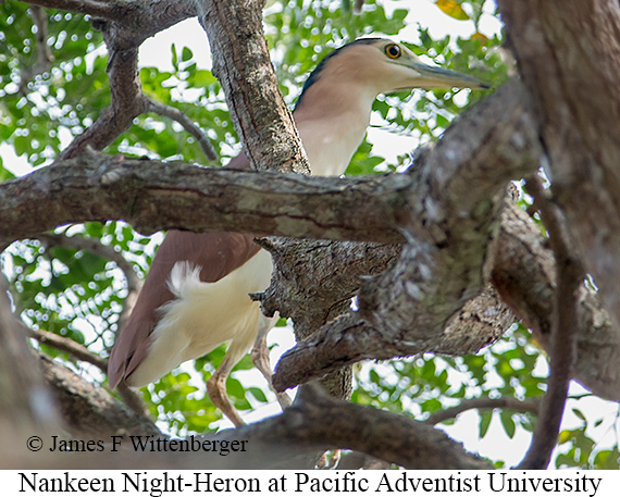 Rufous Night-Heron - © James F Wittenberger and Exotic Birding Tours