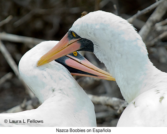 Nazca Booby - © The Photographer and Exotic Birding LLC