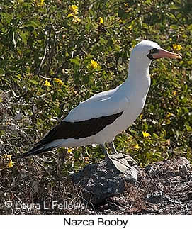 Nazca Booby - © Laura L Fellows and Exotic Birding LLC