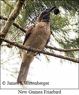 New Guinea Friarbird - © James F Wittenberger and Exotic Birding LLC