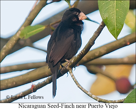 Nicaraguan Seed-Finch - © Laura L Fellows and Exotic Birding LLC