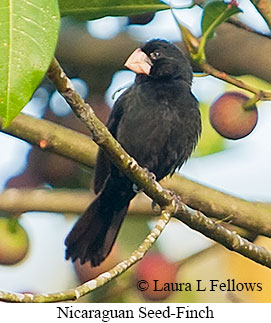 Nicaraguan Seed-Finch - © Laura L Fellows and Exotic Birding Tours