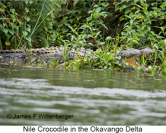 Nile Crocodile - © Laura L Fellows and Exotic Birding Tours
