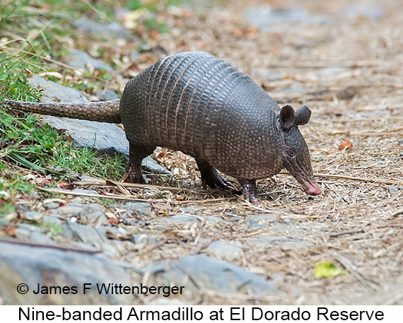 Nine-banded Armadillo - © The Photographer and Exotic Birding LLC