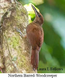 Northern Barred-Woodcreeper - © Laura L Fellows and Exotic Birding LLC