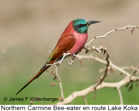 Northern Carmine Bee-eater - © The Photographer and Exotic Birding LLC