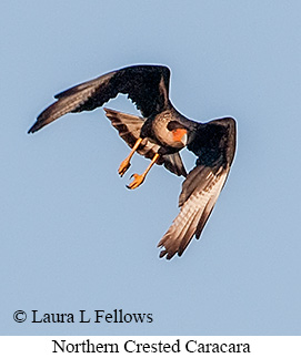 Crested Caracara - © Laura L Fellows and Exotic Birding Tours