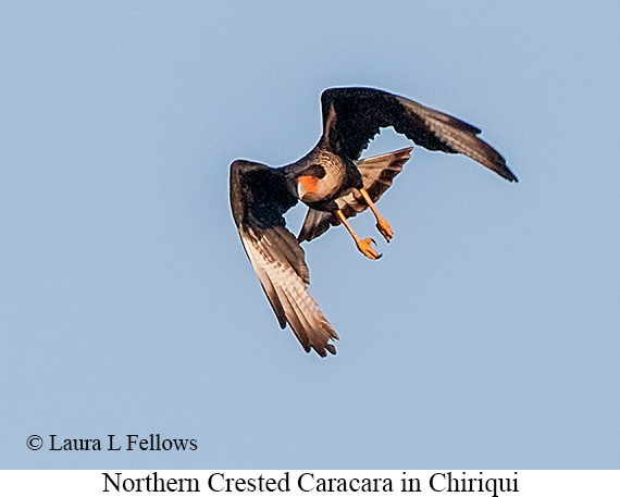 Crested Caracara - © Laura L Fellows and Exotic Birding LLC