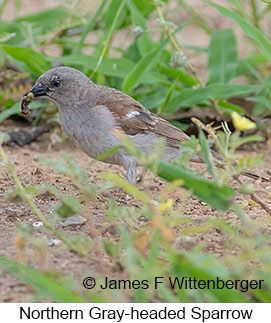 Northern Gray-headed Sparrow - © James F Wittenberger and Exotic Birding LLC