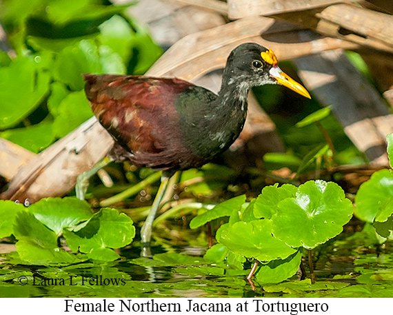 Northern Jacana - © Laura L Fellows and Exotic Birding Tours