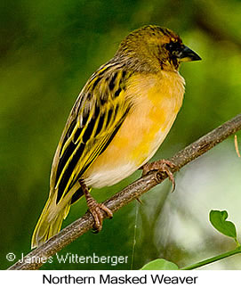 Northern Masked-Weaver - © James F Wittenberger and Exotic Birding Tours