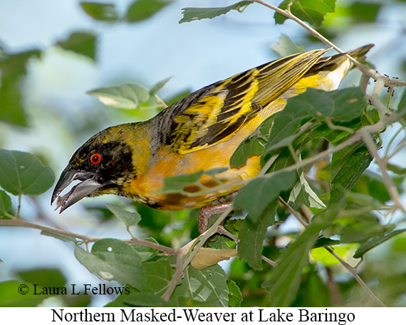 Northern Masked-Weaver - © Laura L Fellows and Exotic Birding Tours