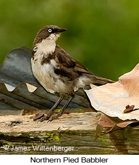 Northern Pied-Babbler - © James F Wittenberger and Exotic Birding Tours