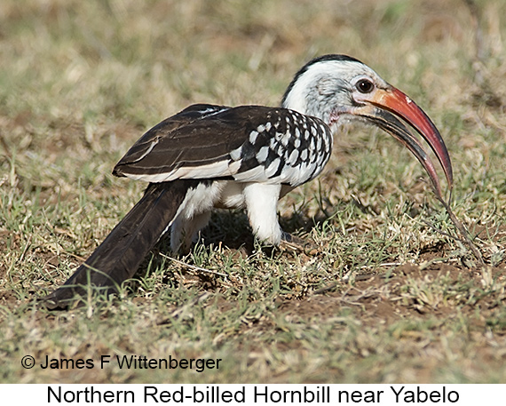 Northern Red-billed Hornbill - © James F Wittenberger and Exotic Birding LLC