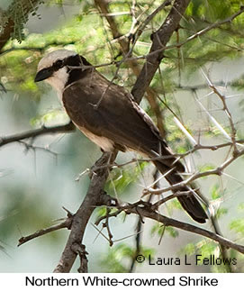 White-rumped Shrike - © Laura L Fellows and Exotic Birding LLC