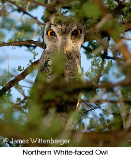 Northern White-faced Owl - © James F Wittenberger and Exotic Birding LLC