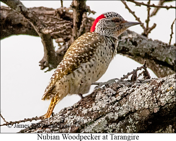 Nubian Woodpecker - © James F Wittenberger and Exotic Birding LLC