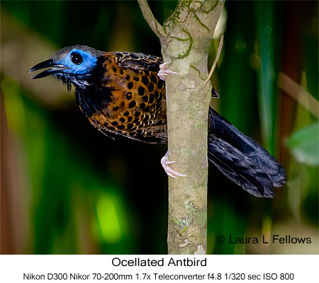 Ocellated Antbird - © Laura L Fellows and Exotic Birding Tours