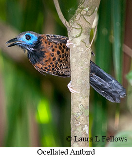 Ocellated Antbird - © Laura L Fellows and Exotic Birding LLC