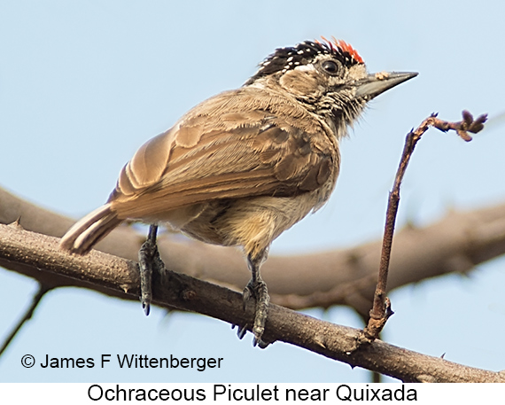 Ochraceous Piculet - © James F Wittenberger and Exotic Birding LLC