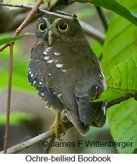 Ochre-bellied Boobook - © James F Wittenberger and Exotic Birding Tours