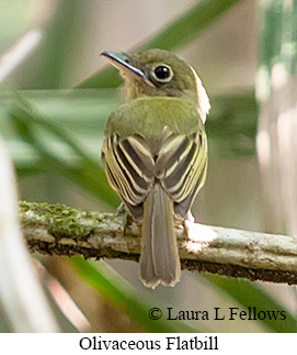 Olivaceous Flatbill - © Laura L Fellows and Exotic Birding Tours
