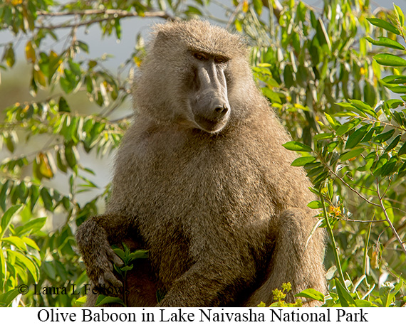 Olive Baboon - © Laura L Fellows and Exotic Birding LLC