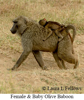 Olive Baboon - © Laura L Fellows and Exotic Birding Tours
