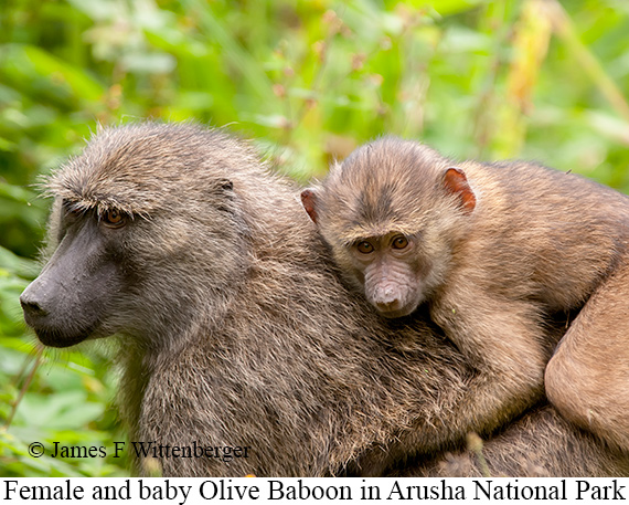 Olive Baboon - © James F Wittenberger and Exotic Birding Tours