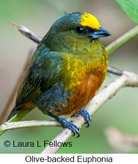 Olive-backed Euphonia - © Laura L Fellows and Exotic Birding Tours