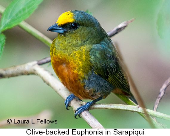 Olive-backed Euphonia - © Laura L Fellows and Exotic Birding LLC