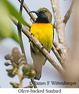 Olive-backed Sunbird - © James F Wittenberger and Exotic Birding Tours
