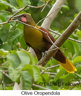 Olive Oropendola - © Laura L Fellows and Exotic Birding Tours