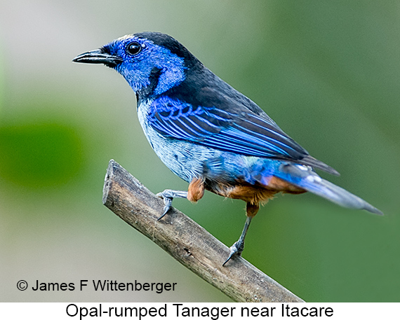Opal-rumped Tanager - © The Photographer and Exotic Birding LLC