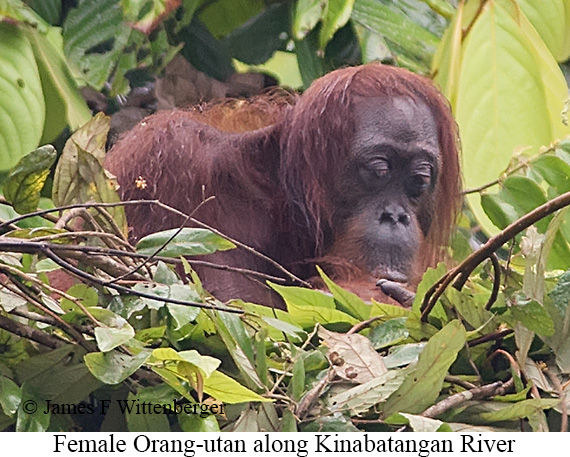 Orang-utan Female - © The Photographer and Exotic Birding LLC