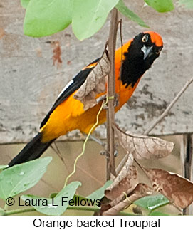 Orange-backed Troupial - © Laura L Fellows and Exotic Birding LLC