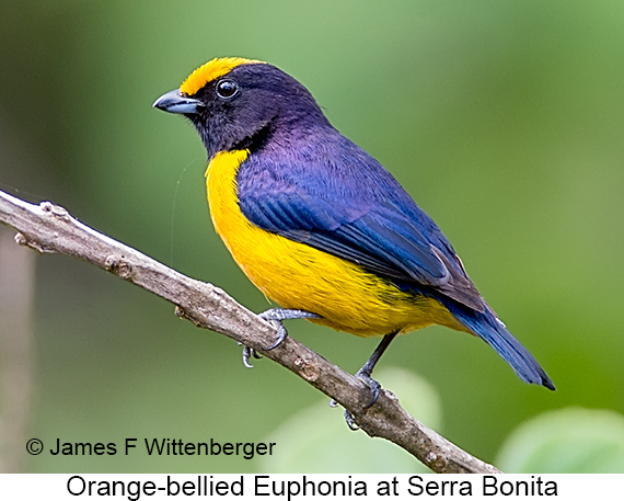 Orange-bellied Euphonia - © James F Wittenberger and Exotic Birding LLC