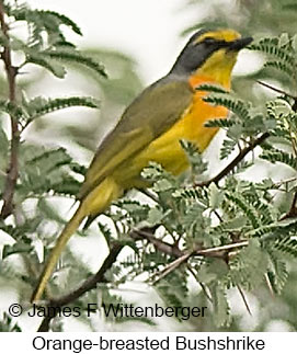 Sulphur-breasted Bushshrike - © James F Wittenberger and Exotic Birding LLC