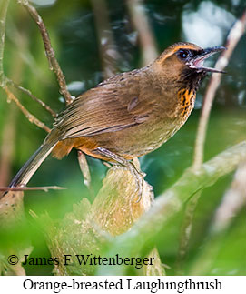 Orange-breasted Laughingthrush - © James F Wittenberger and Exotic Birding Tours