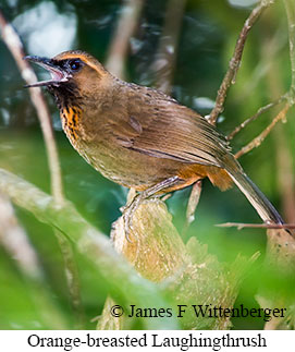 Orange-breasted Laughingthrush - © James F Wittenberger and Exotic Birding LLC