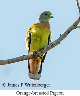 Orange-breasted Pigeon - © James F Wittenberger and Exotic Birding Tours