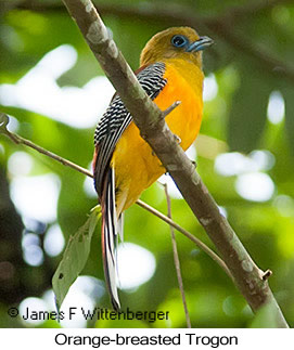Orange-breasted Trogon - © James F Wittenberger and Exotic Birding LLC