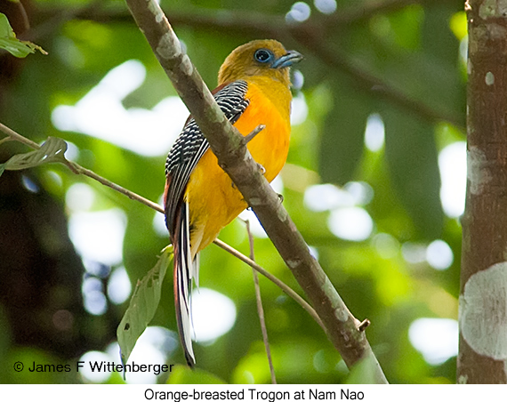 Orange-breasted Trogon - © James F Wittenberger and Exotic Birding Tours