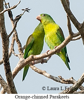Orange-chinned Parakeet - © Laura L Fellows and Exotic Birding Tours