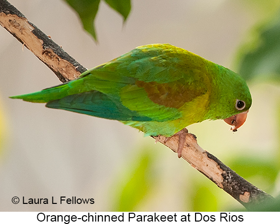 Orange-chinned Parakeet - © The Photographer and Exotic Birding LLC