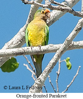 Orange-fronted Parakeet - © Laura L Fellows and Exotic Birding LLC