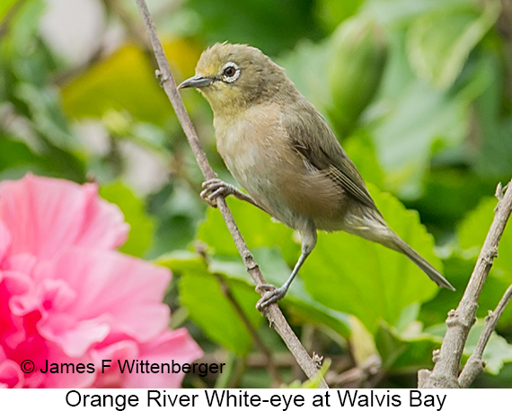 Orange River White-eye - © James F Wittenberger and Exotic Birding LLC