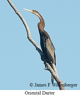 Oriental Darter - © James F Wittenberger and Exotic Birding Tours