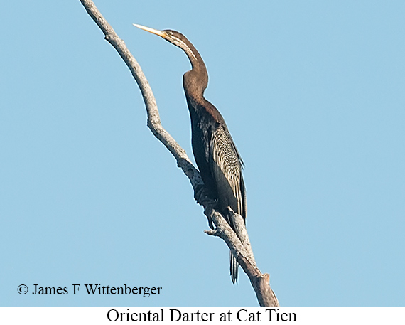 Oriental Darter - © James F Wittenberger and Exotic Birding LLC